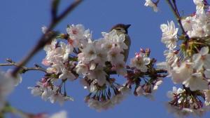桜を落とす犯人